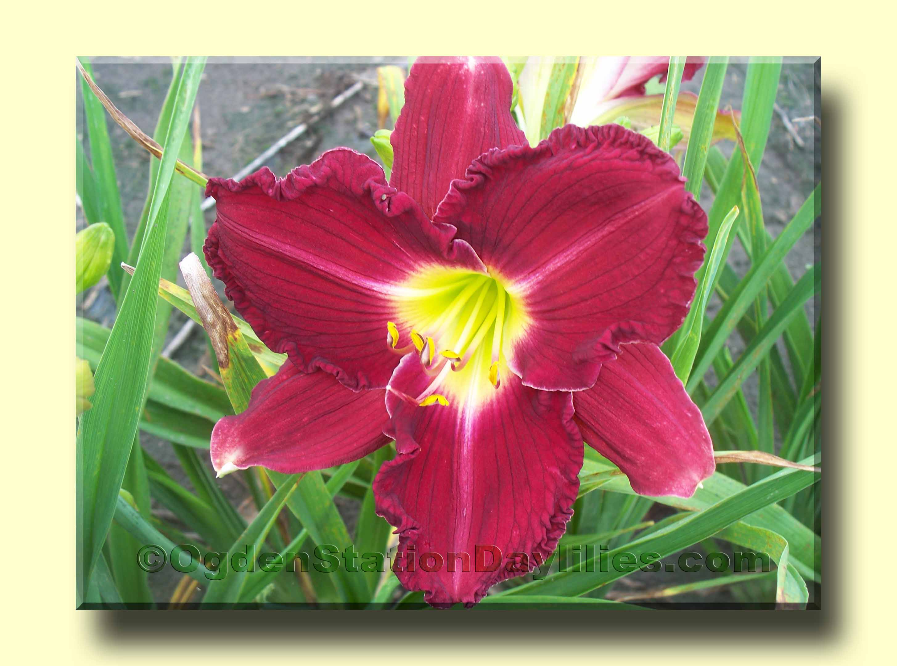 ogdenstationdaylilies.com - Daylily Images Bo-By