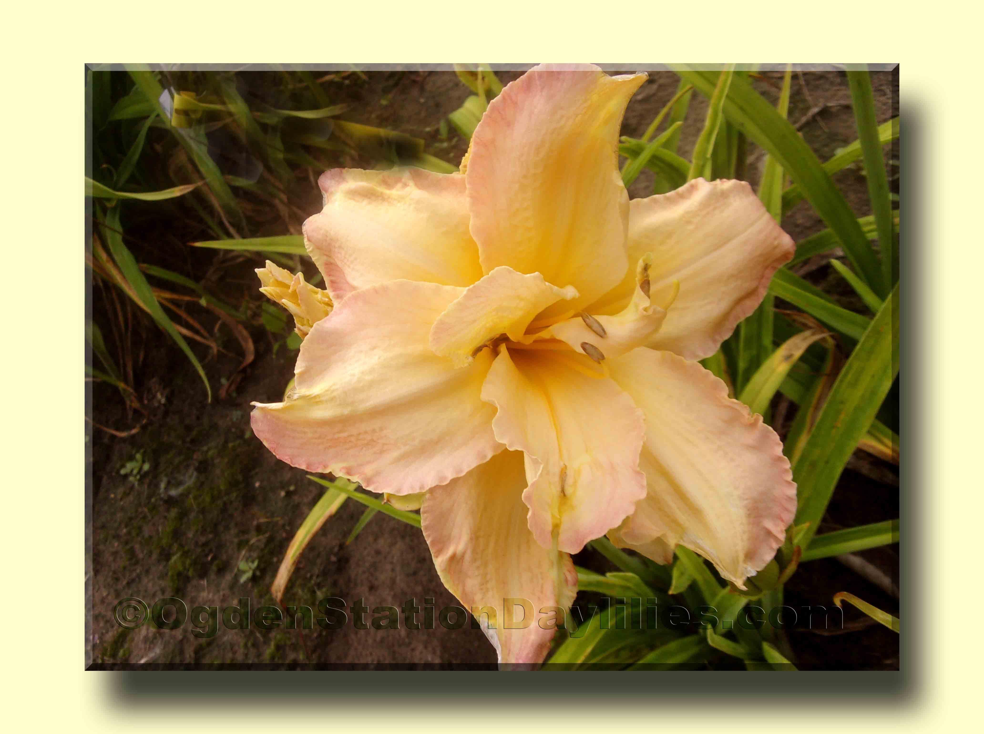 Daylily Hemerocallis taglilie assoluta Treasure 2 scomparti spessore